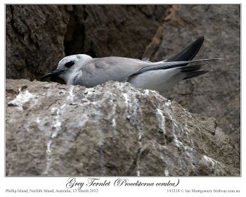 Grey Noddy (Procelsterna albivitta) by Ian 4