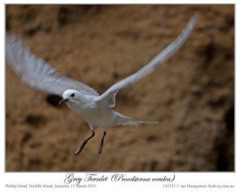 Grey Noddy (Procelsterna albivitta) by Ian 5