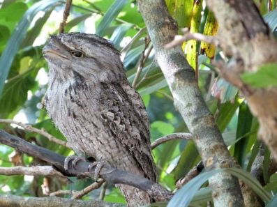 Tawny Frogmouth (Podargus strigoides) at Wings of Asia