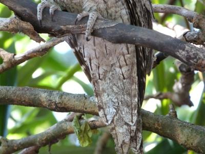 Tawny Frogmouth (Podargus strigoides) Tail