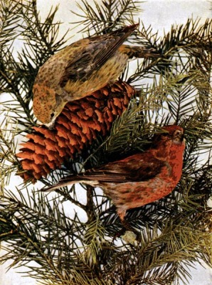 American Red Crossbill for Birds Illustrated by Color Photography, 1897