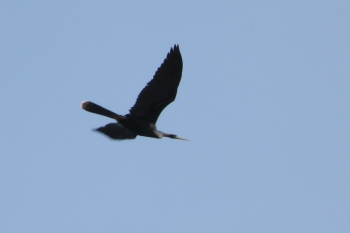 Anhinga Flying Over Soccer Fields