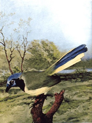 Arizona Jay -Chicago Colortype Co - For Birds Illustrated by Color Photography, 1897 (Green Jay)