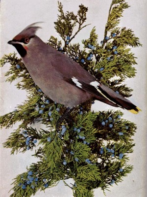 Bohemian Waxwing by Bird Illustrated by Color Photography, 1897