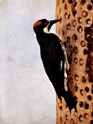 California Woodpecker for Birds Illustrated by Color Photography, 1897