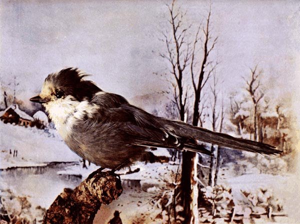 Canada Jay (Grey) for Birds Illustrated by Color Photography, 1897