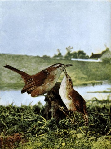 Long-billed Marsh Wren by Birds Illustrated by Color Photography, 1897