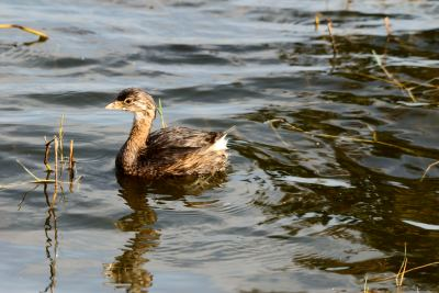 Pied-Billed Grebe at Lake Hollingsworth, Lakeland, FL by Dan