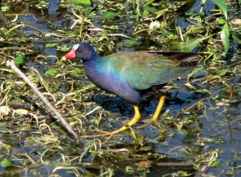 Purple Gallinule by Lee at Lake Hollingsworth by Lee