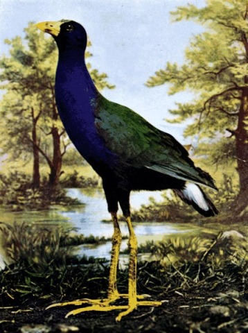 Purple Gallinule for Birds Illustrated