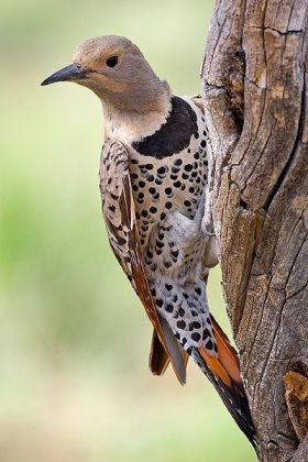 Northern Flicker (Colaptes auratus) Red-shafted ©WikiC
