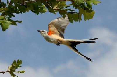 Scissor-tailed Flycatcher (Tyrannus forficatus) ©TexasEagle