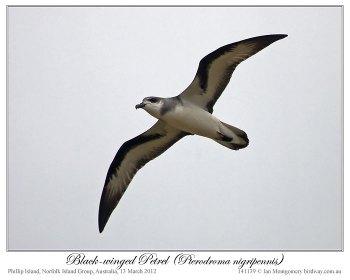 Black-winged Petrel (Pterodroma nigripennis) by Ian Montgomery 1