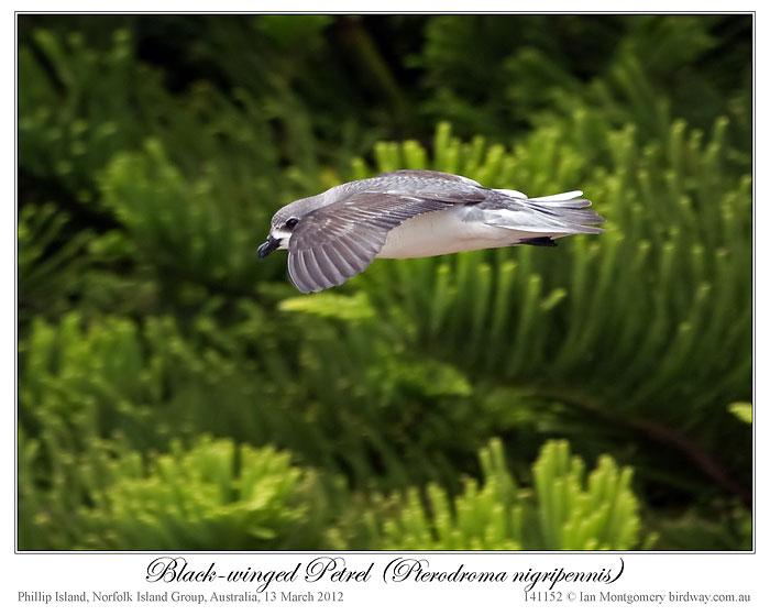 Black-winged Petrel (Pterodroma nigripennis) by Ian Montgomery 2