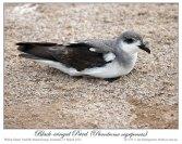 Black-winged Petrel (Pterodroma nigripennis) by Ian Montgomery 3