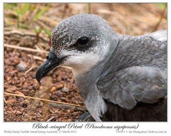 Black-winged Petrel (Pterodroma nigripennis) by Ian Montgomery 4