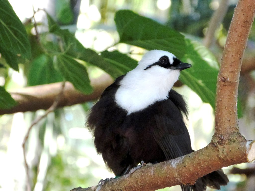 (Black and White) Sumatran Laughingthrush (Garrulax bicolor) by Lee