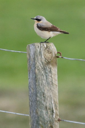 Northern Wheatear (Oenanthe oenanthe) ©©