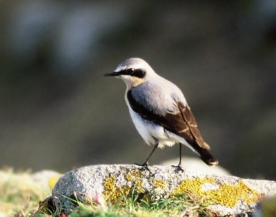 Northern Wheatear (Oenanthe oenanthe) Breeding male ©WikiC