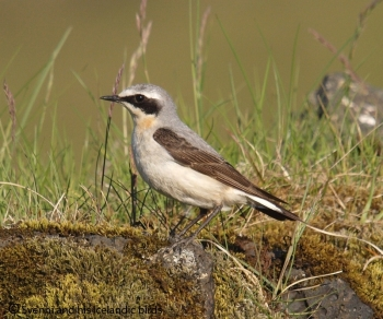 Northern Wheatear (Oenanthe oenanthe leucorhoa) by BirdPhotos