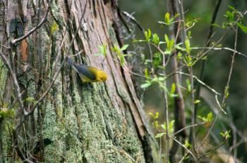 Prothonotary Warbler (Protonotaria citrea) ©USFWS