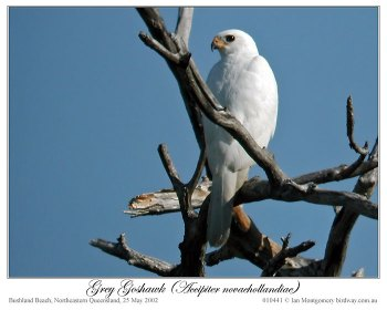 Grey Goshawk ( novaehollandiae) by Ian 1