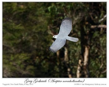 Grey Goshawk ( novaehollandiae) by Ian 2