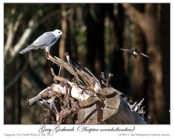 Grey Goshawk ( novaehollandiae) by Ian 3