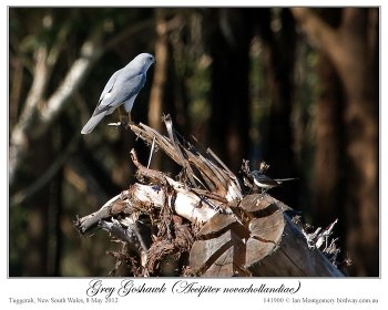 Grey Goshawk ( novaehollandiae) by Ian 4