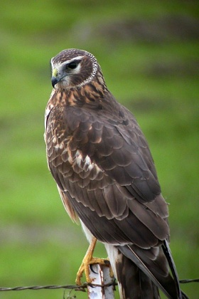 Northern Harrier (Circus hudsonius) ©WikiC