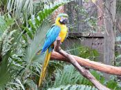 Blue-and-yellow Macaw (Ara ararauna) at Brevard Zoo