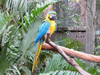 Blue-and-yellow Macaw (Ara ararauna) at Brevard Zoo