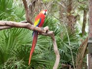 Scarlet Macaw (Ara macao) by Lee Brevard Zoo