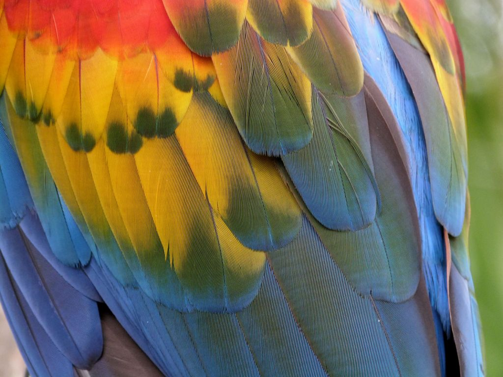 Scarlet Macaw (Ara macao) Feathers - Brevard Zoo