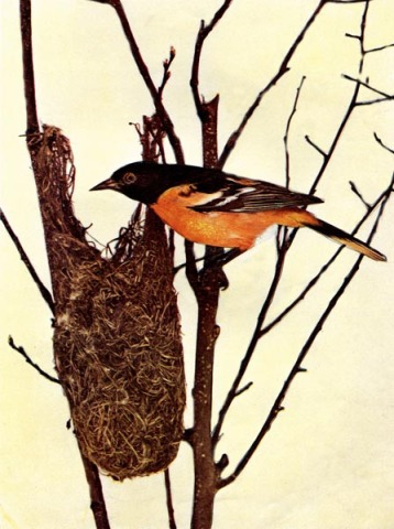 Baltimore Oriole for Birds Illustrated by Color Photography, 1897