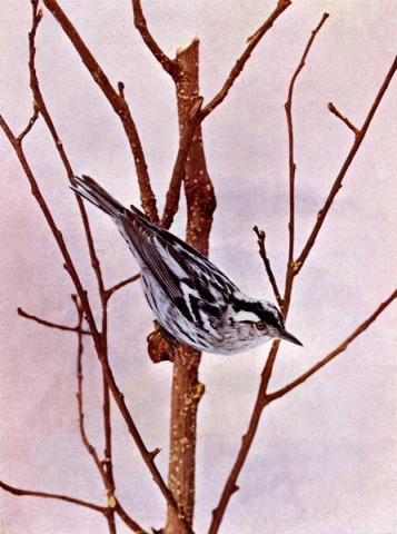 Black and white Creeping Warbler for Birds Illustrated by Color Photography, 1897