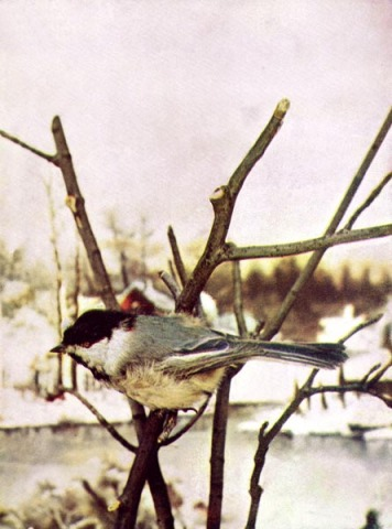 Chickadee by.Birds Illustrated by Color Photography, 1897