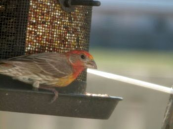 Interesting House Finch at feeder