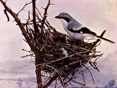 Loggerhead Shrike for Birds Illustrated by Color Photography, 1897