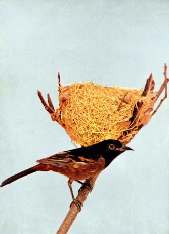 Orchard Oriole by Birds Illustrated by Color Photography, 1897