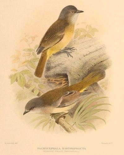 Australian Golden Whistler (Norfolk Island) (Pachycephala pectoralis xanthoprocta) by Ian Drawing