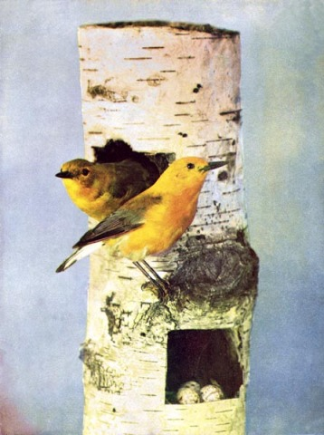 Prothonotary Yellow Warblers Birds by Illustrated by Color Photography, 1897