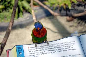 Rainbow Lorikeet at Lowry Pk Zoo by Dan