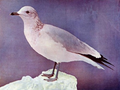 Ring-billed Gull for Birds Illustrated by Color Photography, 1897