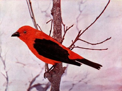 Scarlet Tanager for Birds Illustrated by Color Photography, 1897