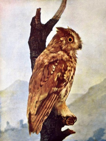 Screech Owl for Birds Illustrated by Color Photography, 1897