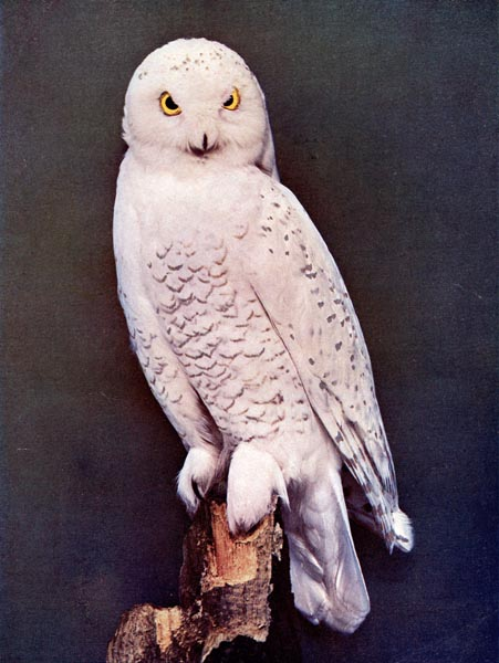 Snowy Owl for Birds Illustrated by Color Photography, 1897