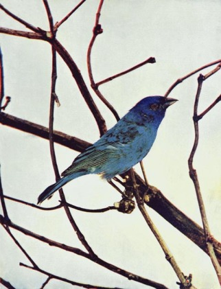 Indigo Bunting by Birds Illustrated by Color Photography, 1897