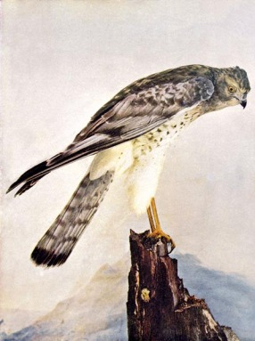 Marsh Hawk for Birds Illustrated by Color Photography, 1897