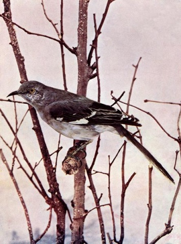 Mockingbird for Birds Illustrated by Color Photography, 1897